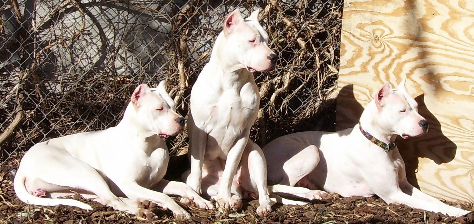 Dogo Argentino Breeders San Diego Wroc Awski Informator Internetowy Wroc Aw Wroclaw Hotele